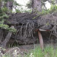 Root Tenacity